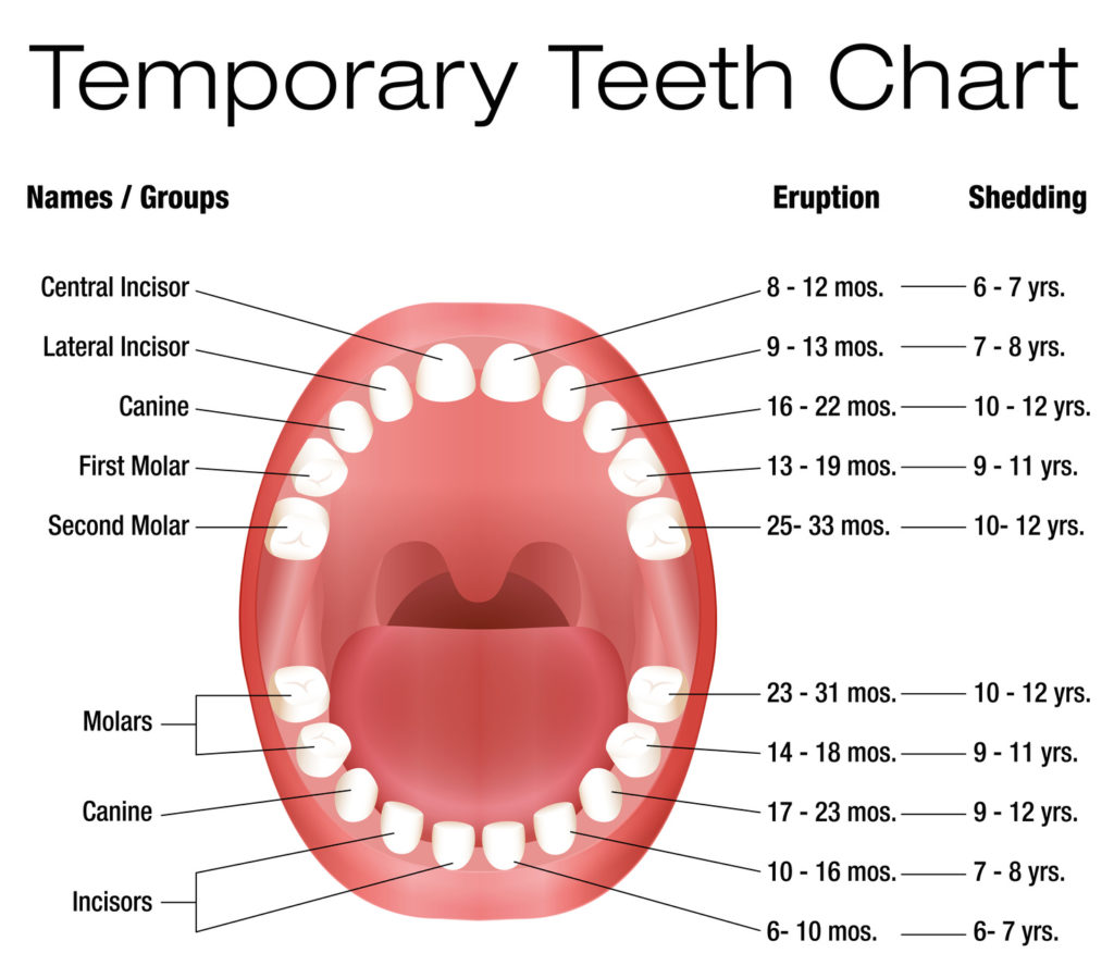 Teeth eruption shedding kiddies dental care children will develop 20 primary teeth often referred to as baby or first teeth which fall into 5 categories ccuart Image collections